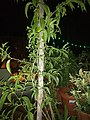 Plants at Bijalinagar 99.jpg