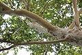 Platanus × acerifolia - Platan (4)vfaddf.jpg