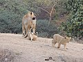 Playful and curious lions 10 Jan 2014 AJT Johnsingh DSCN0097.jpg