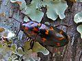 Pleasing Fungus Beetle (Micrencaustes lunulata) (7129157317).jpg