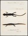 Pleurodeles waltlii - 1700-1880 - Print - Iconographia Zoologica - Special Collections University of Amsterdam - UBA01 IZ11400095.tif