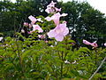 Podranea ricasoliana - flowers.jpg