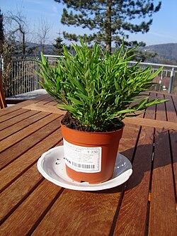 Pogonatherum paniceum.jpg