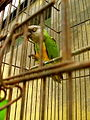 Poicephalus senegalus -pet in cage-8a.jpg