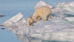Polar bear (Ursus) maritimus female with its cub, Svalbard (2).jpg