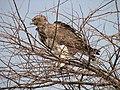 Polemaetus bellicosus -Etosha National Park, Namibia-8.jpg