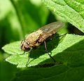 Pollenia sp. Calliphoridae. Cluster-fly - Flickr - gailhampshire (3).jpg