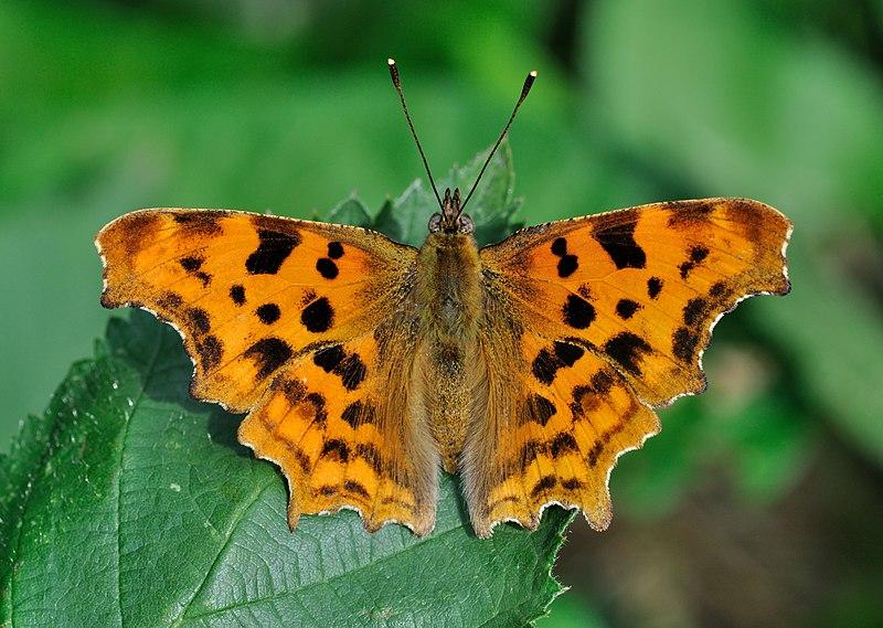 Encore un papillon! dans Le Jardin 800px-Polygonia_c-album_qtl2