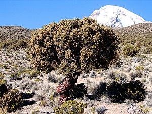 Asana River - Polylepis rugulosa of the genus Polylepis, trees that grow in the Andes highland region of Peru