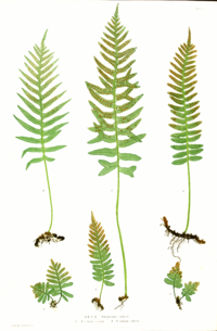 The Ferns of Great Britain and Ireland cover