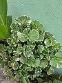 Polyscias scutellaria (Burm.f.) Fosberg.jpg