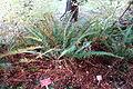 Polystichum munitum - Regional Parks Botanic Garden, Berkeley, CA - DSC04443.JPG