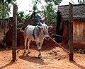 Pongal cow.jpg