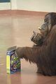 Pongo abelii at the Philadelphia Zoo 001.jpg