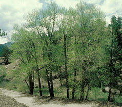 Populus angustifolia USDA.jpg