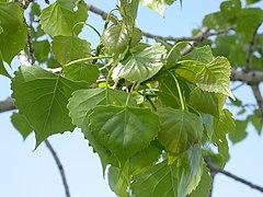 240px populus deltoides (4016116014)