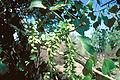 Populus deltoides monilifera femalecatkins.jpg