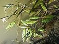 Potamogeton nodosus sl28.jpg