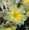 Primula Francesca (5615967535).jpg