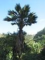 Pritchardia maideniana (4762215848).jpg