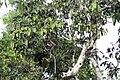 Proboscis Monkey (11271240494).jpg
