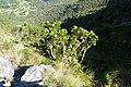 Protea cynaroides (8458756068).jpg