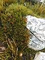 Protea montana rebeccaryan iNat 39755290a.jpg