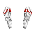 Proximal phalanges of foot07 inferior view.png