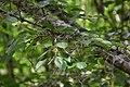 Prunus avium in Eastwoodhill Arboretum (3).jpg