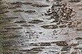 Prunus cerasus Montmorency tree bark 8.jpg