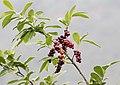 Prunus laurocerasus - Taflan, Giresun 2017-07-05 01-1.jpg