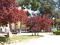 Prunus pisardii.jpg