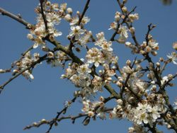 Prunus spinosa 130403.jpg