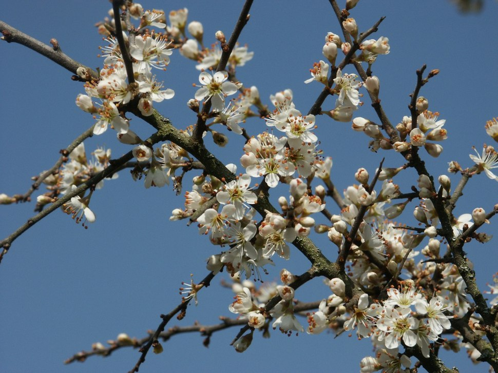 Prunus spinosa 130403