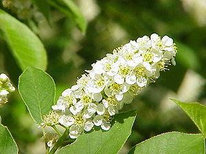 Prunus subg. Padus - Prunus virginiana