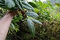 Psammisia sodiroi (Ericaceae) (30166205806).jpg