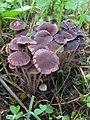 Psathyrella bipellis (Quél.) A.H. Sm 302152.jpg