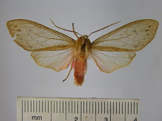 <i>Pseudohemihyalea porioni</i> species of insect