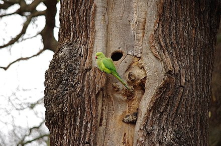 A female rose-ringed parakeet in the park Psittacula krameri -Richmond Park, London, England-8.jpg