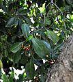 Psychotria capensis, loof en vrugte, a, Laeveld NBT.jpg