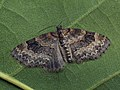 Pterapherapteryx sexalata - Small Seraphim - Пяденица шестикрылая (40064167785).jpg