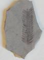 Ptilophyllum in Khokhlov Paleontological Museum.png