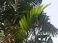 Ptychosperma macarthurii (4630544817).jpg