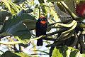 Puerto Rican Bullfinch (Loxigilla portoricensis) (8091094139).jpg