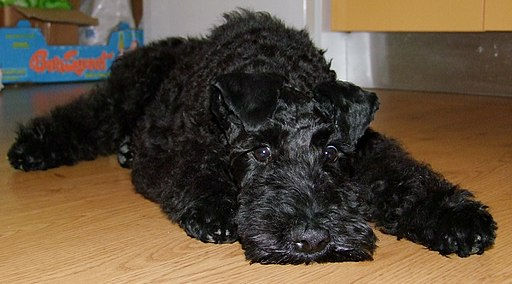 Pui Kerry Blue Terrier