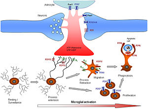 Microglia - Activation of microglia via purinergic signalling