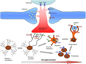 Suramin as a possible novel treatment for Autism 330px-Purinergic_signalling_Microglia