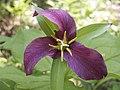 Purple Trillium (3610291891).jpg