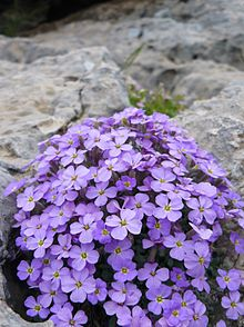Purple rock cress.JPG