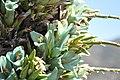 Puya alpestris ssp zoellnerii Cuesta Chacabuco 01.jpg
